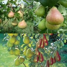 Дерево-сад (2-3х, 3-4х летка) груша 2 сорта Осенняя Яковлева - Аллегро
