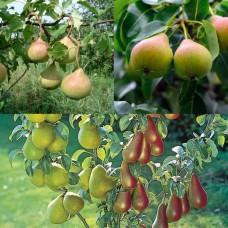 Дерево-сад (2-3летка) груша 2 сорта Осенняя Яковлева - Любимица Яковлева