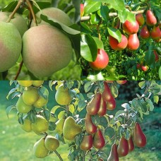 Дерево-сад (2-3летка) груша 2 сорта Память Жегалова - Десертная Россошанская