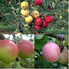 Дерево-сад (2-3х, 3-4х летка) яблоня 2 сорта Богатырь - Антоновка обыкновенная
