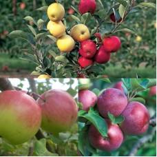 Дерево-сад (2-3х, 3-4х летка) яблоня 2 сорта Богатырь - Спартан