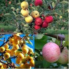 Дерево-сад (2-3х, 3-4х летка) яблоня 2 сорта Грушовка московская - Китайка золотая ранняя