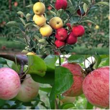 Дерево-сад (2-3х, 3-4х летка) яблоня 2 сорта Грушовка московская - Коричное полосатое