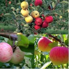 Дерево-сад (2-3х, 3-4х летка) яблоня 2 сорта Грушовка московская - Медуница