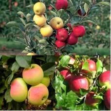 Дерево-сад (2-3х, 3-4х летка) яблоня 2 сорта Имрус -  Уэлси