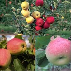 Дерево-сад (2-3 летка) яблоня 2 сорта Кандиль Орловский - Бессемянка мичуринская