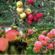 Дерево-сад (2-3 летка) яблоня 2 сорта Кандиль Орловский - Мелба