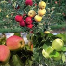 Дерево-сад (2-3 летка) яблоня 2 сорта Кандиль Орловский - Налив белый