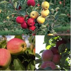 Дерево-сад (2-3 летка) яблоня 2 сорта Кандиль Орловский - Память Ульянищева