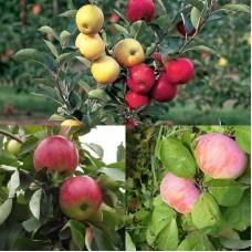 Дерево-сад (2-3х, 3-4х летка) яблоня 2 сорта  Орловим - Мелба