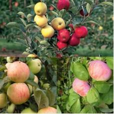 Дерево-сад (2-3х, 3-4х летка) яблоня 2 сорта  Орловим - Юбиляр