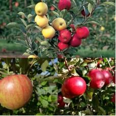 Дерево-сад (2-3х, 3-4х летка) яблоня 2 сорта  Уэлси - Красное ранее