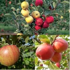 Дерево-сад (2-3х, 3-4х летка) яблоня 2 сорта  Уэлси - Пепин шафранный
