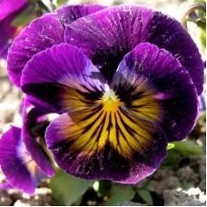 Фиалка рогатая Фиолетовая с пятном