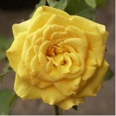 Роза флорибунда Алголд