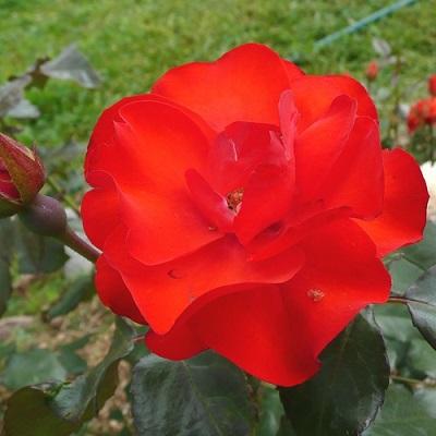 Роза флорибунда Амстердам