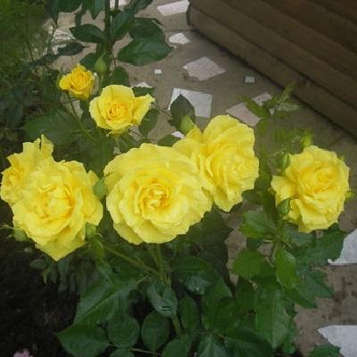 Роза флорибунда Фрезия