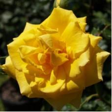 Роза флорибунда Голд Банни