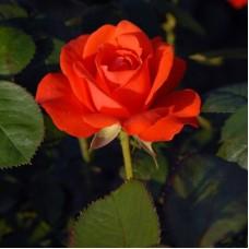 Роза флорибунда Холстайн