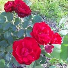 Роза флорибунда Лили Марлен