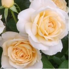 Роза флорибунда Лион Роуз
