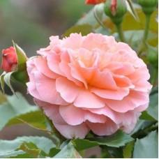 Роза флорибунда Мари Кюри