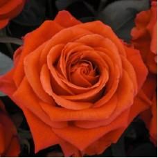 Роза флорибунда Ориндж Пассион