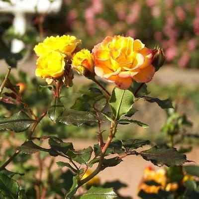 Роза флорибунда Петито