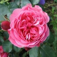 Роза флорибунда Мейян Леонардо да Винчи
