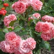 Роза флорибунда Аллюр Винтер Джевел
