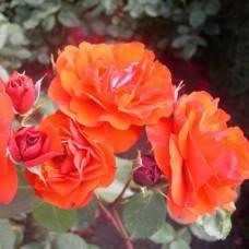 Роза флорибунда Алотрия