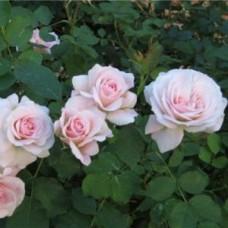 Роза флорибунда Блаш Винтер Джевел