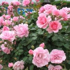 Роза флорибунда Боника