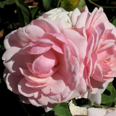 Роза флорибунда Диадем