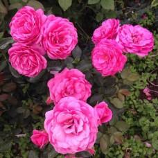 Роза флорибунда Маджента Диадем