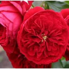 Роза флорибунда Роткепчен
