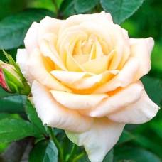 Роза флорибунда Ванила