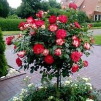 Роза флорибунда Жюбиле дю Принц де Монако