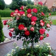 Роза флорибунда Жюбиле дю Принц де Монако - штамб (люкс: 3 и более прививок)