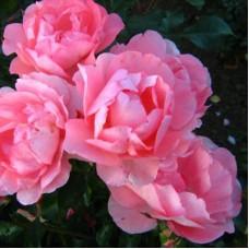 Роза Мейян флорибунда Жарден де Франс