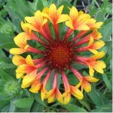 Гайлардия крупноцветковая Фанфара