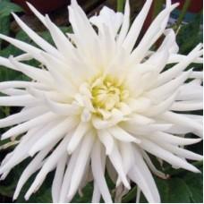 Георгина кактусовая Плая-Бланка