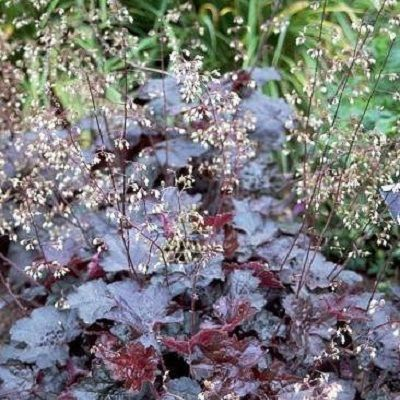 Гейхера мелкоцветковая Пэлэс Пёпл