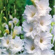 Гладиолус крупноцветковый Бангладеш