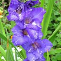 Гладиолус крупноцветковый Блу Айл