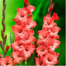 Гладиолус крупноцветковый Бьюти Принт
