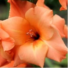 Гладиолус крупноцветковый Венети