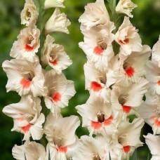 Гладиолус крупноцветковый Аякс