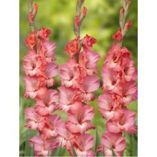 Гладиолус крупноцветковый Бетховен