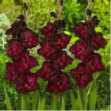 Гладиолус крупноцветковый Блэк Стар
